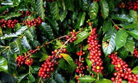 Brasil exporta 2,5 milhões de sacas de café em janeiro de 2017