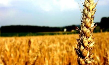 Mesmo com leilões de subvenção, trigo importado está mais atrativo para mercado brasileiro