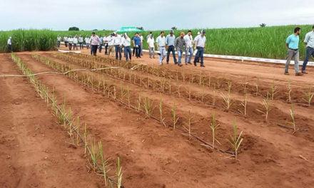 Syngenta demonstra benefícios do meiosi, método que combina a plantação de mudas de cana-de-açúcar com outras culturas