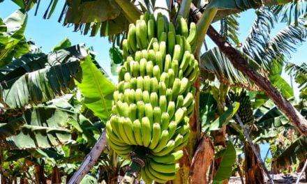 SMR para a Sigatoka Negra da bananeira é auditado para garantir o status fitossanitário