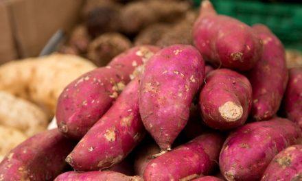 Tecnologia da Apta permite aumento da produtividade da batata-doce