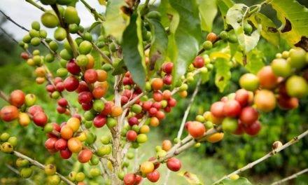 Lavouras de café terão impactos das mudanças climáticas compensados