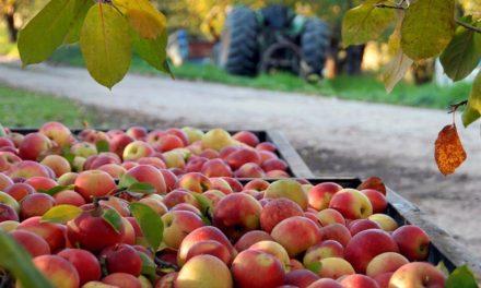 Levantamento do Instituto de Economia Agrícola identifica potencial para aumentar a produtividade da maçã no Estado de São Paulo