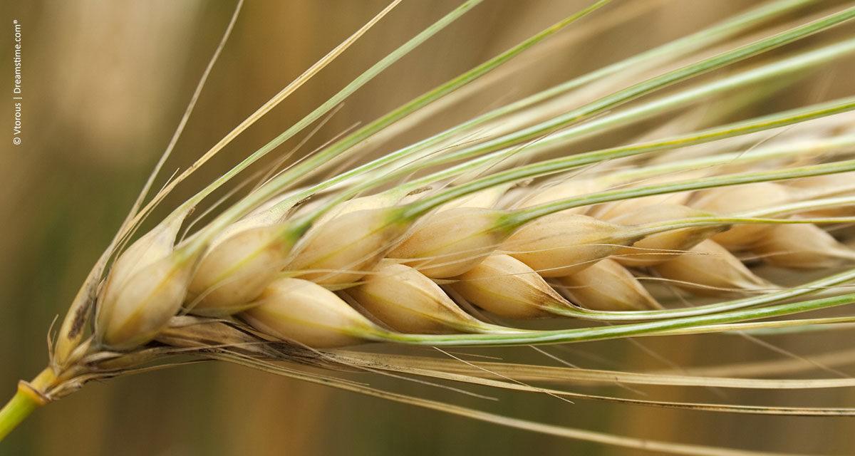 Nutrição do trigo: desenvolvimento radicular é fundamental para altas produtividades