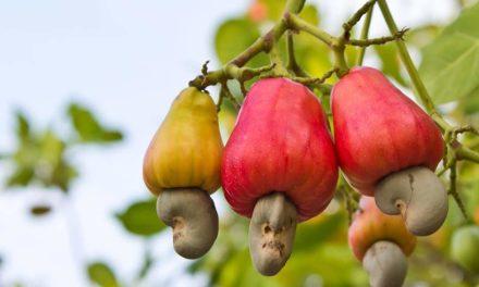 Marcadores químicos devem acelerar o desenvolvimento de novas cultivares de cajueiro