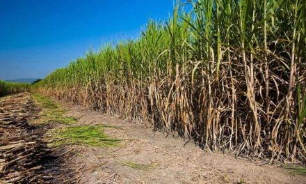 Instituto Agronômico de Campinas lança duas variedades de cana com ganho de 15% em produtividade