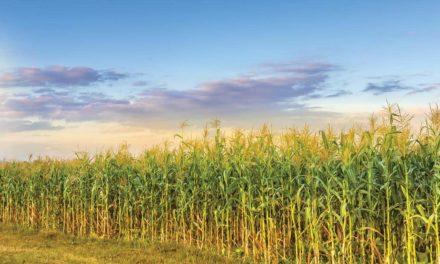 Além de preservar a biotecnologia, adoção de refúgio premia agricultores