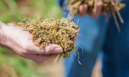 Silagem produzida com feijão guandu pode reduzir em até 30% custos com ração