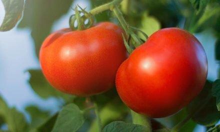 Adubação equilibrada gera tomates mais bonitos e duradouros
