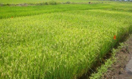 Novo modelo de irrigação eleva produtividade do arroz