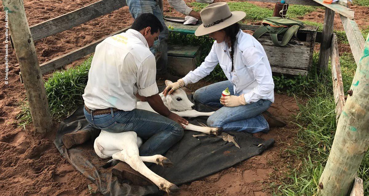 Bem-estar animal: fazenda no Mato Grosso substitui marca fogo por brincos eletrônicos