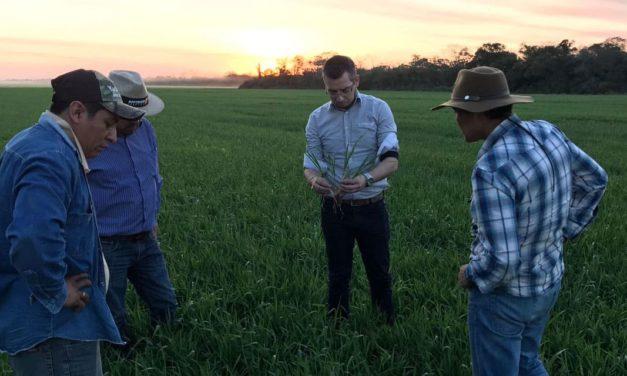 Cultivar com genética brasileira é lançada na Bolívia