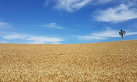 Pesquisa lança inovações para cultura do trigo em Cascavel, PR