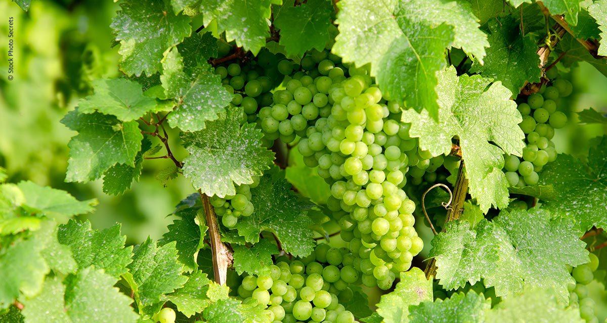 Brasileiros identificam gene que possibilita a ausência de sementes na uva