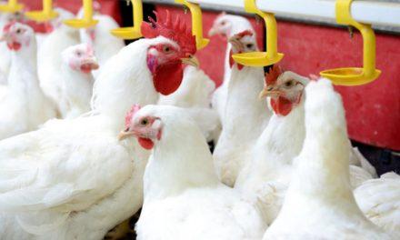 No Dia da Avicultura, setor comemora conquistas que garantem segurança no mercado