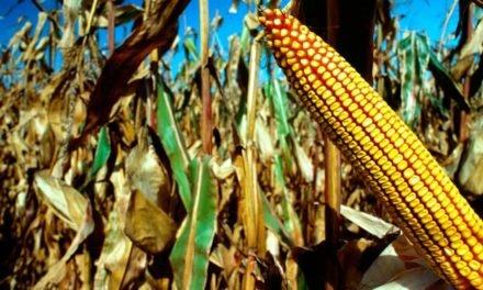 Conab negocia quase 100% da oferta de PEP e Pepro do milho de MS