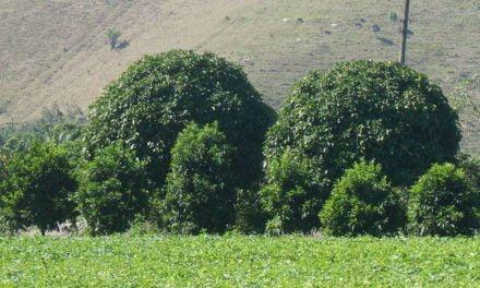 Site ajuda agricultor na escolha de árvores nativas da Mata Atlântica