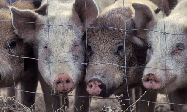 Maior produtor da Tailândia assina compromisso para o fim do cruel confinamento de porcos de criação