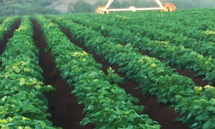 Soluções da Satis aumentam em mais de 10% a produtividade da batata