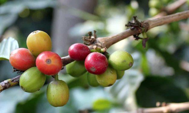 Senior lança solução completa para Gestão da Cafeicultura