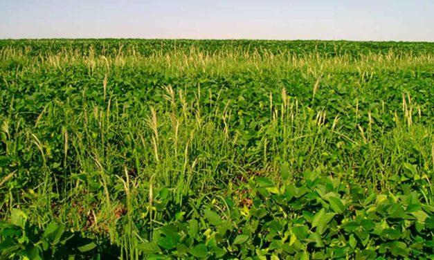 Plantas daninhas resistentes aumentam custo de produção de soja