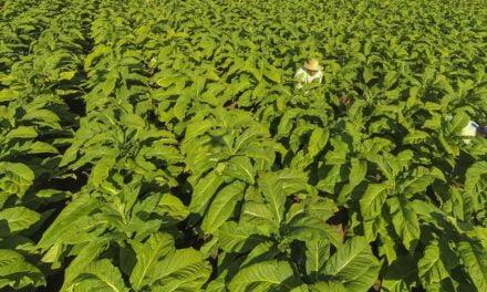 Primeira abertura oficial da colheita do tabaco acontece em Venâncio Aires