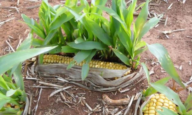 Bayer indica solução para casos de milho voluntário