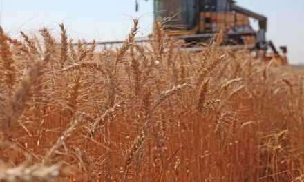 Papel da genética é essencial para o desenvolvimento do trigo