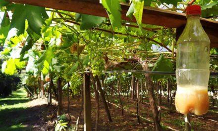 Pesquisadores adaptam tecnologia espanhola para combater mosca-das-frutas nos parreirais