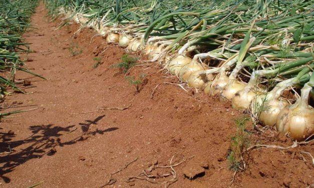 Cebolas híbridas garantem plantio o ano todo com qualidade para produtor e consumidor