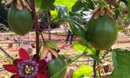 Embrapa Cerrados lança cultivar de maracujá doce