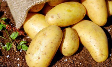 Programa visa aumentar a produtividade e rentabilidade dos produtores de batata