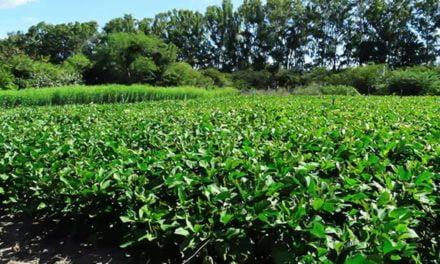 Pesquisa participativa cria bancos de sementes de adubo verde no Nordeste