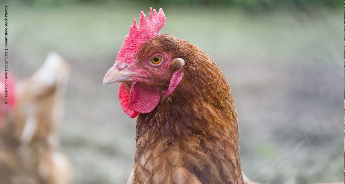 Sanidade avícola é ferramenta para maximização da produtividade
