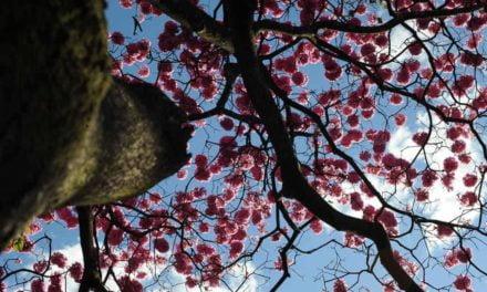 Ipê-roxo é primeira árvore do Cerrado a ter genoma sequenciado