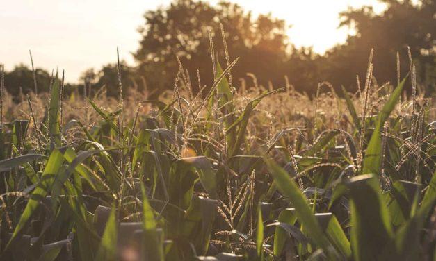 FS Bioenergia anuncia a duplicação da primeira usina de etanol de milho do Brasil