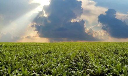 Fertilizante a partir de algas marinhas alavanca produção de milho