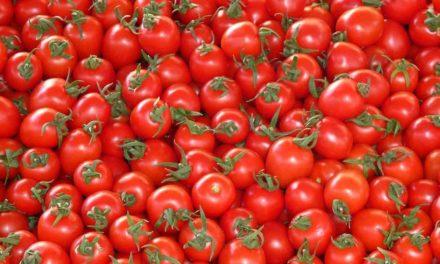 Ensacamento controla pragas do tomate
