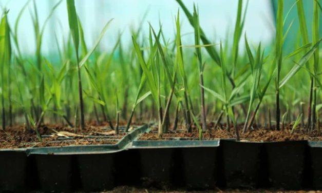 Estudos avaliam manejo de plantas daninhas em áreas com MPB