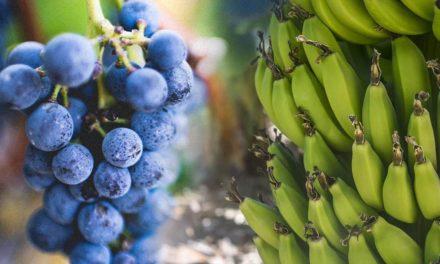 Algas marinhas aumentam a produção e a qualidade das plantações de uva e banana