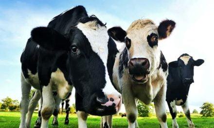 Controle estratégico de carrapatos em bovinos