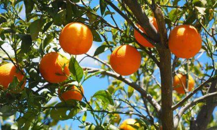 Clima contribui e safra da laranja tem produtividade recorde em SP e MG