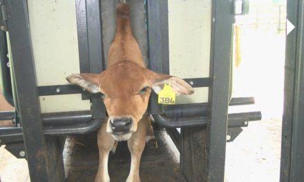 Pecuaristas podem aproveitar o período de vacinação para identificar os animais