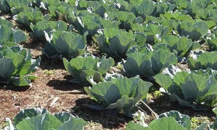 Plantio direto tem potencial para sequestrar carbono na produção de hortaliças