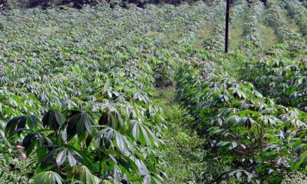 Embrapa e Tereos assinam convênio para produção de novas variedades de mandioca