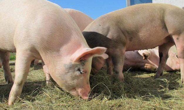 Sanphar traz para o Brasil solução eficiente para higienização na suinocultura