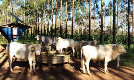 Gado em sistema integrado com floresta procura menos água