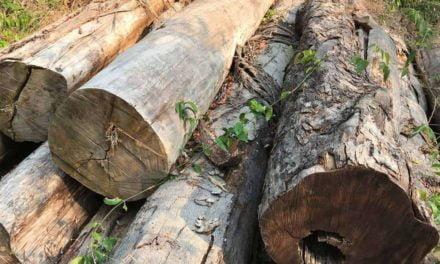Estudo aponta potencial de fraude generalizada na extração de madeiras na Amazônia brasileira