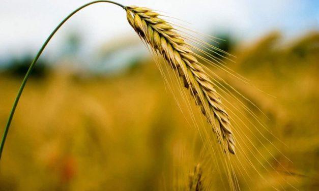 Estiagem no estado provoca quebra da safra do trigo paulista