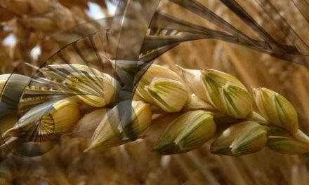 Mapeamento genético do trigo é concluído e pode ajudar a alimentar o mundo